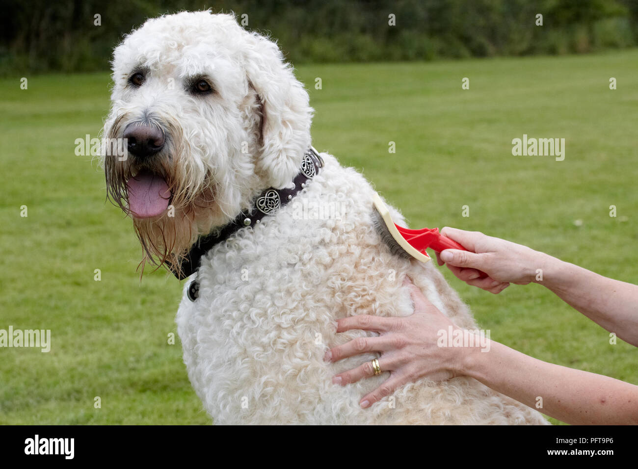Labradoodle: being groomed by owner in garden Stock Photo