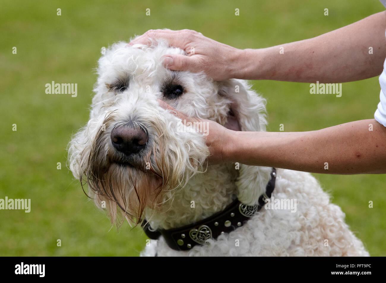 Labradoodle: owner checking eyes - Stock Image