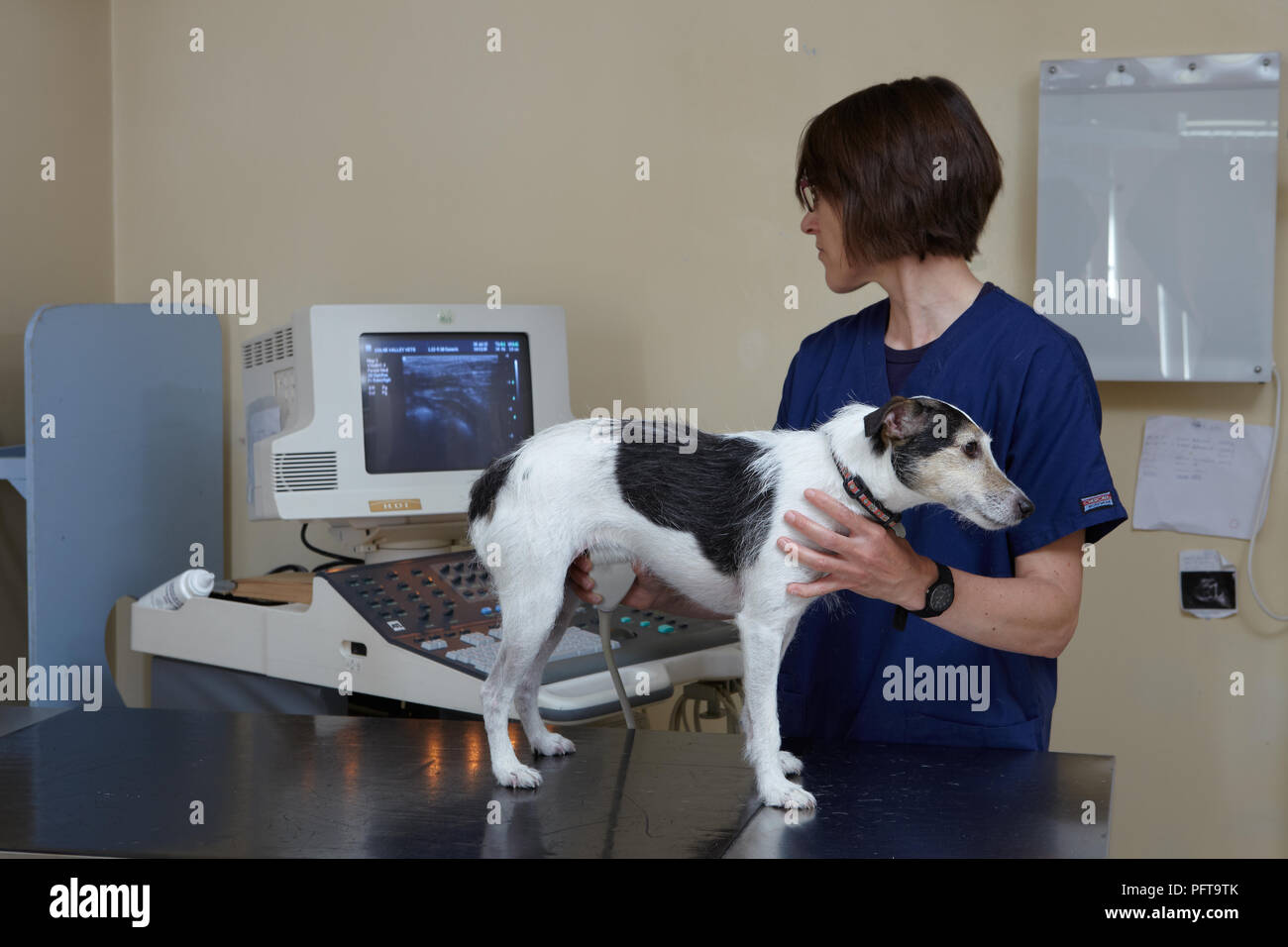Jack Russell having ultrasound scan by veterinary nurse in veterinary surgery - Stock Image