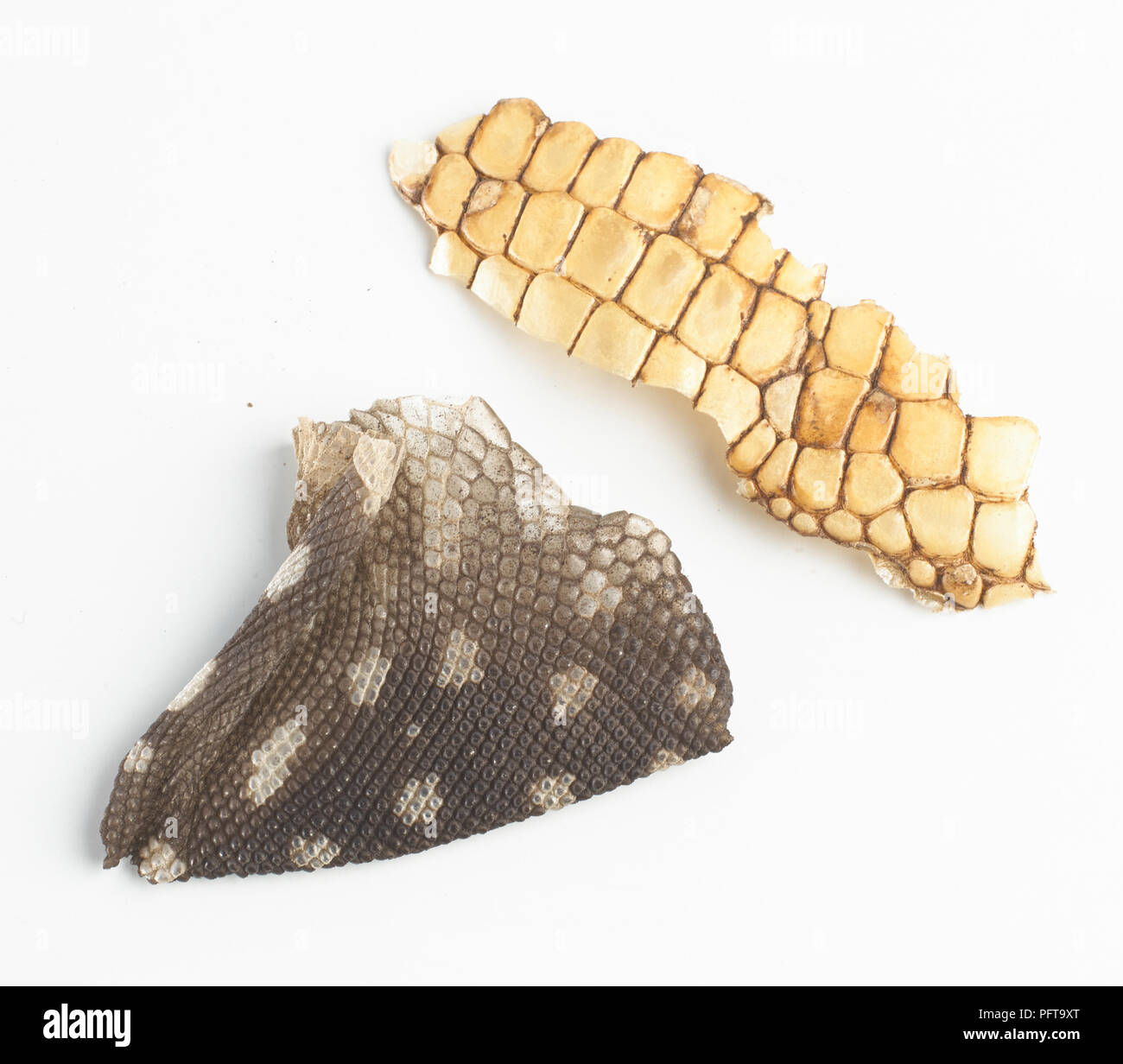 Shed skin detail, from black and white tegu (Tupinambis merianae), and from Caiman lizard (Dracaena guianensis). - Stock Image