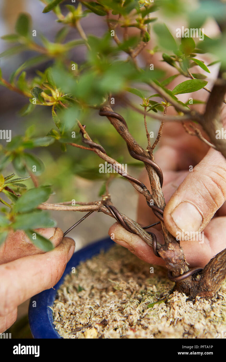 Awesome Wiring Branches Of Bonsai Azalea Stock Photo 216278994 Alamy Wiring Cloud Mangdienstapotheekhoekschewaardnl