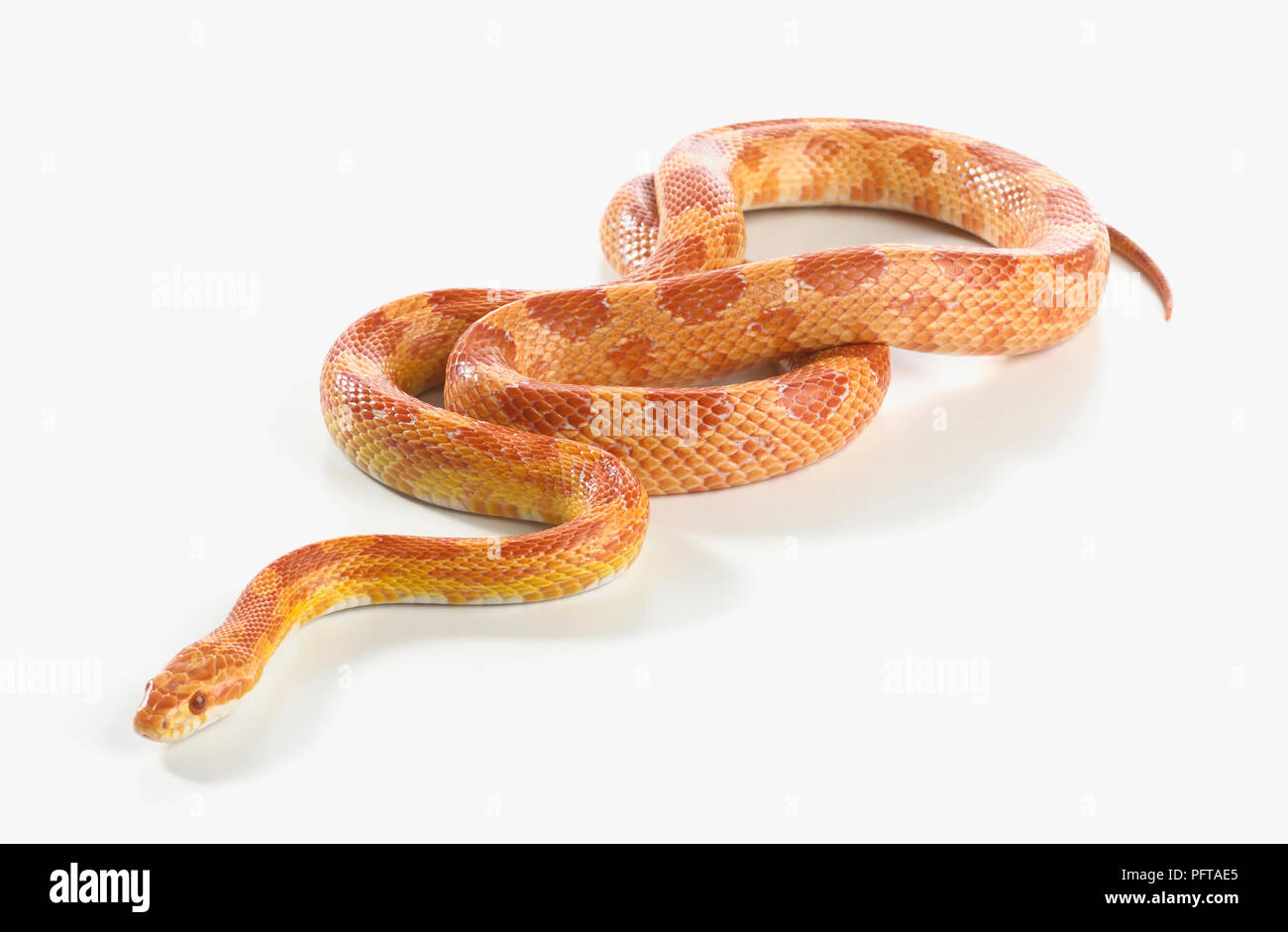 Snake Cut Out Stock Images & Pictures - Alamy