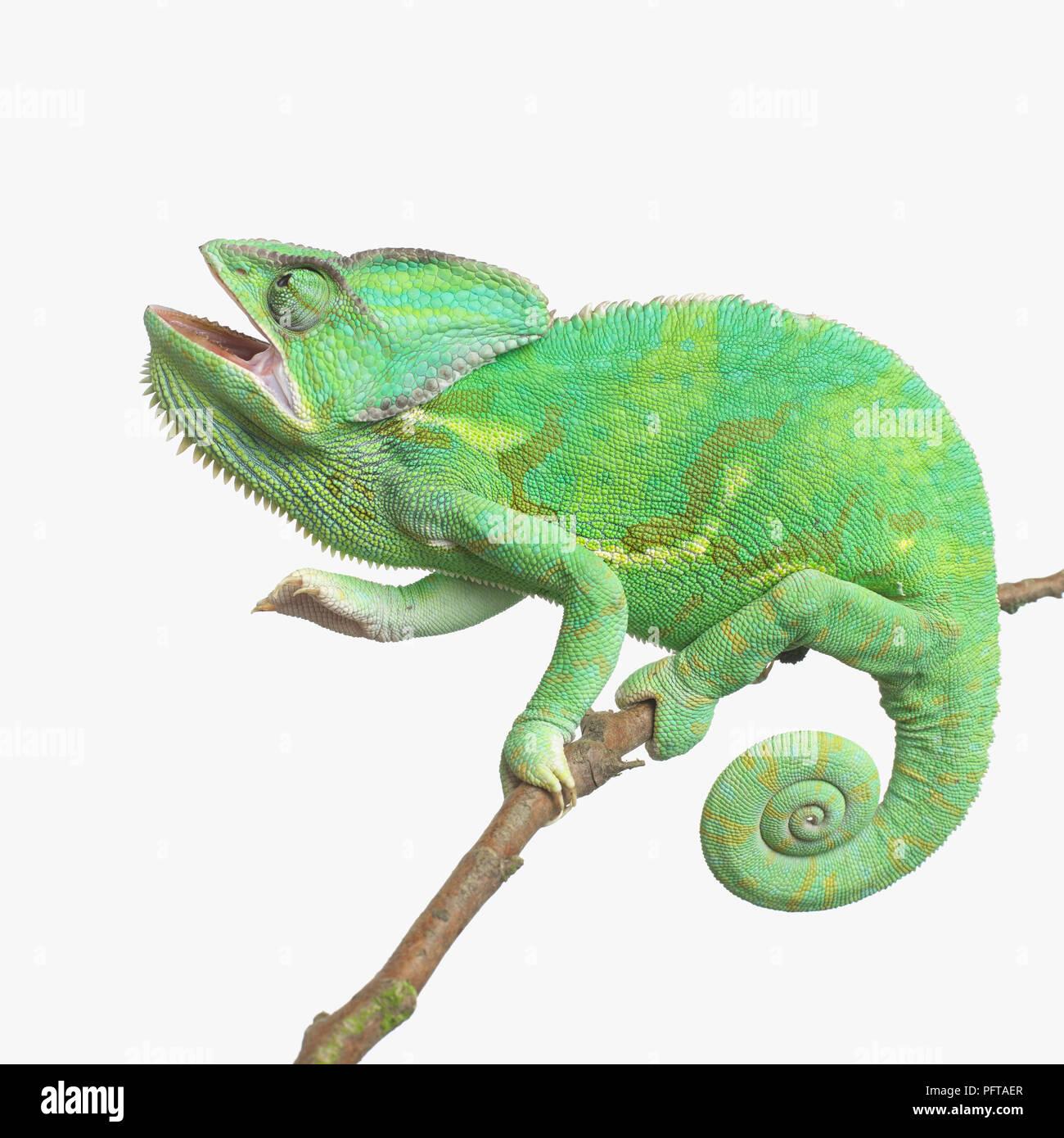 Yemen Chameleon, Veiled Chameleon (Chamaeleo calyptratus) - Stock Image