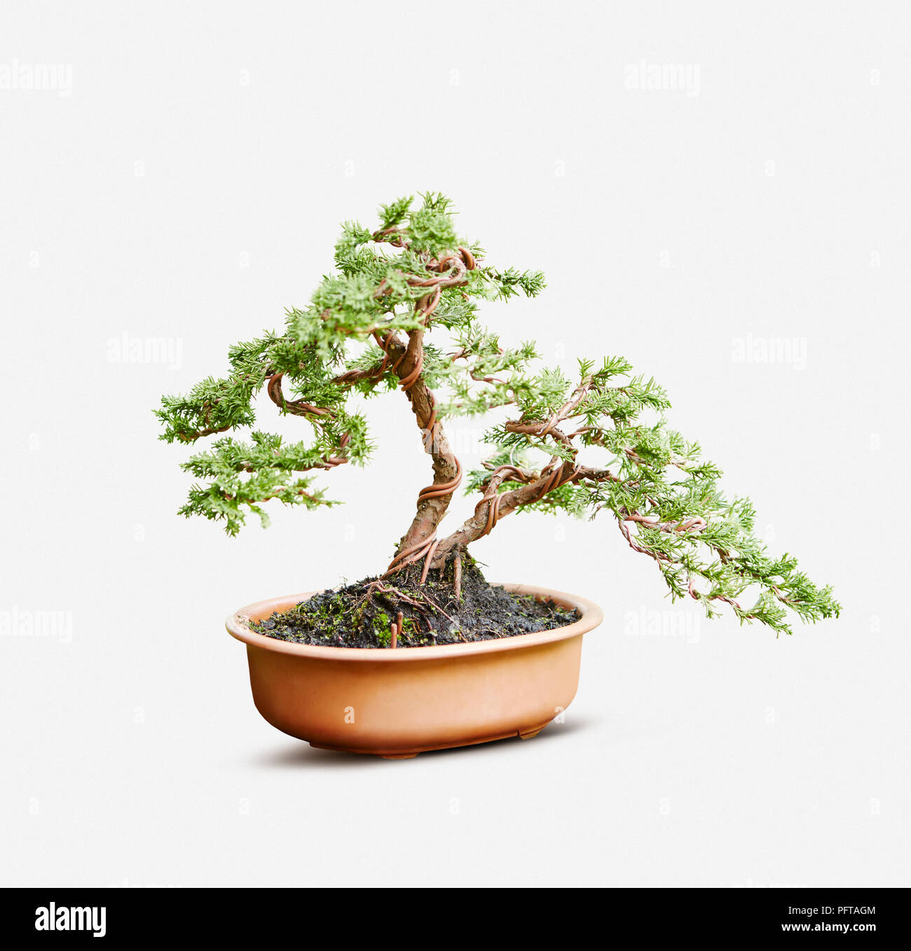Prime Bonsai Styling Young Juniperus Chinensis Chinese Juniper Using Wiring Cloud Mangdienstapotheekhoekschewaardnl