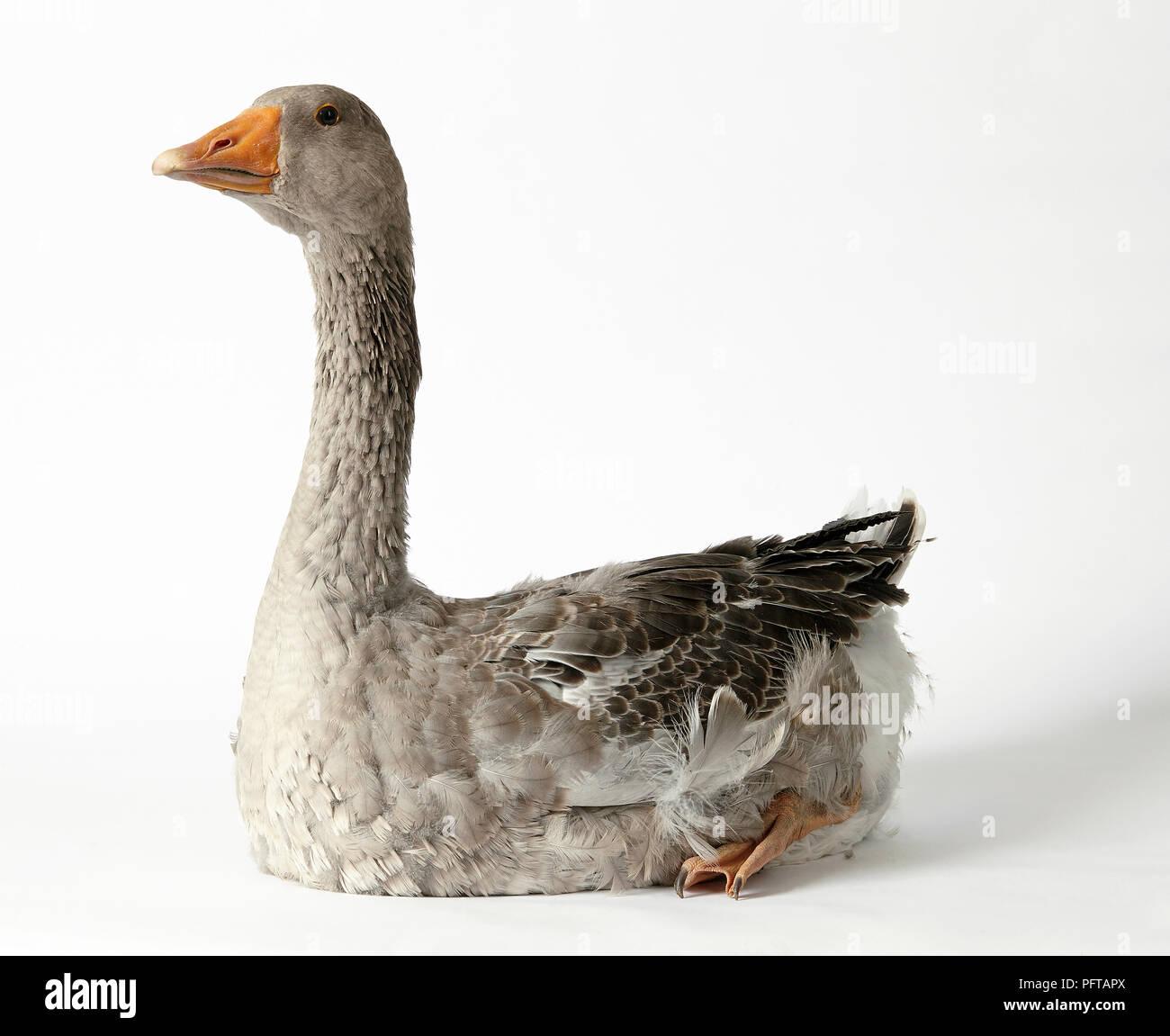 Toulouse Goose Stock Photo 216279586 Alamy