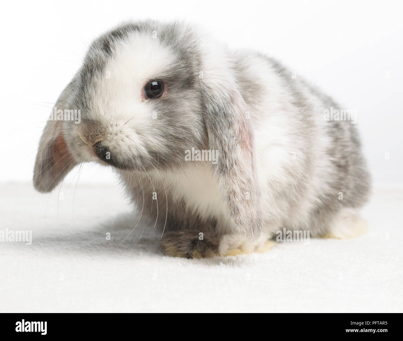 Young Dwarf Lop Rabbit, 4-week-old - Stock Image