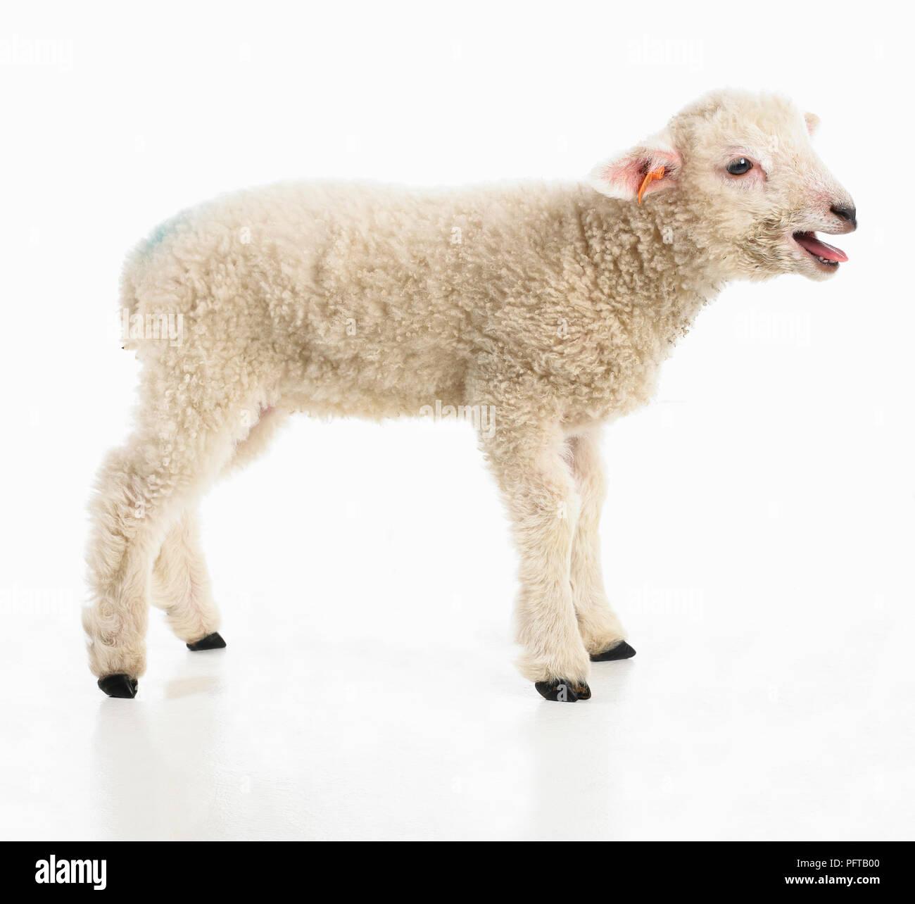 Lamb, Romney sheep, 4-week-old male - Stock Image