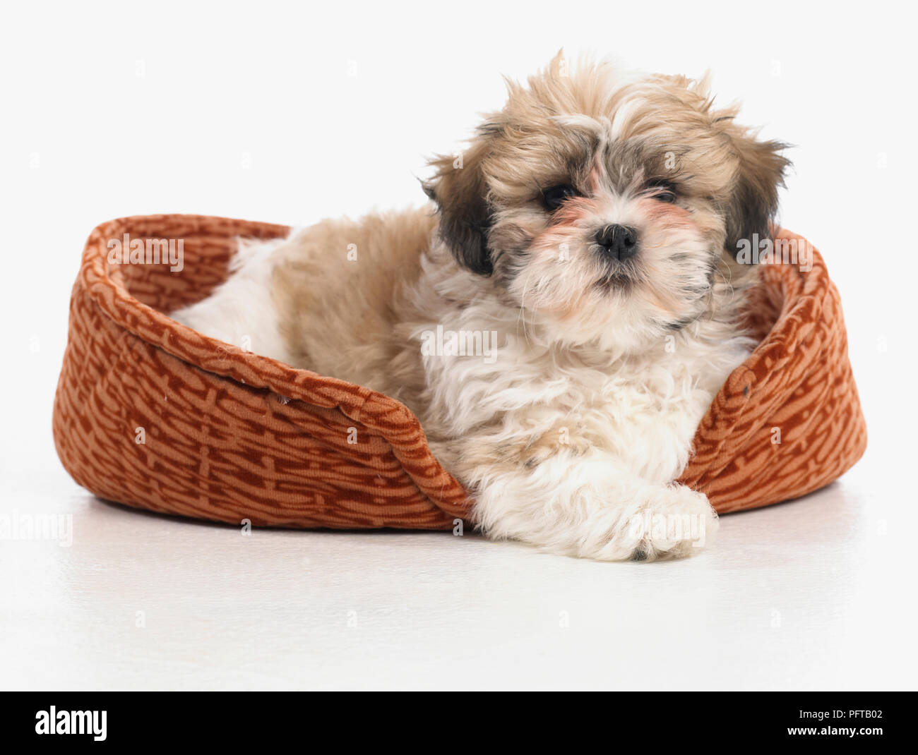Shih Tzu puppy in dog bed, 8-week-old - Stock Image
