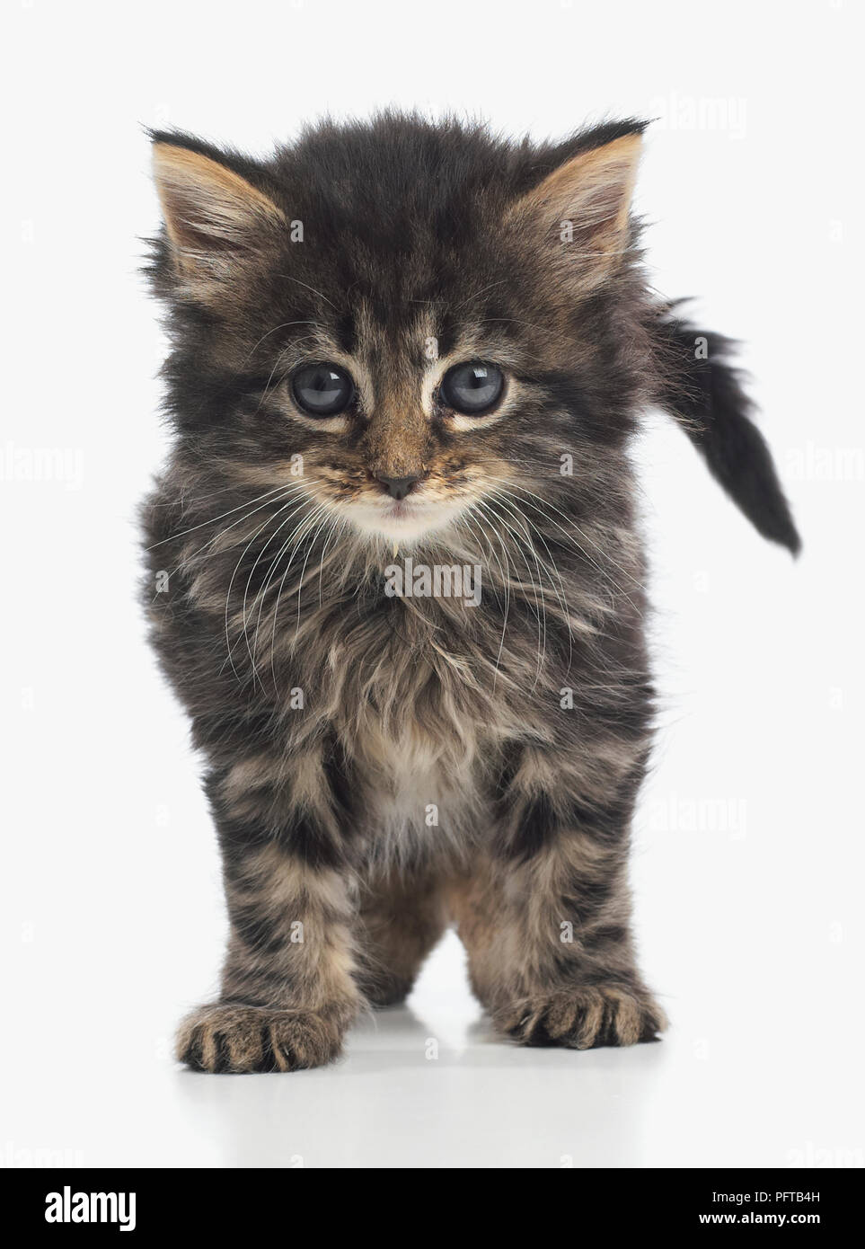 fluffy brown tabby kitten 8 week old stock photo 216279857 alamy