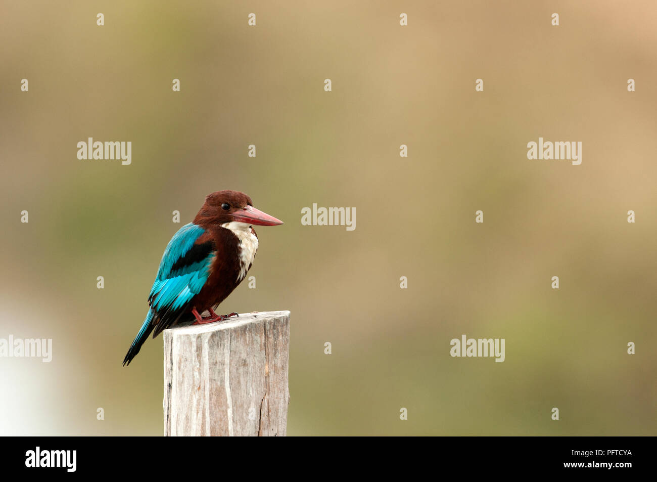 White-throated kingfisher (Halcyon smyrnensis), Thailand Martin-chasseur de Smyrne - Stock Image