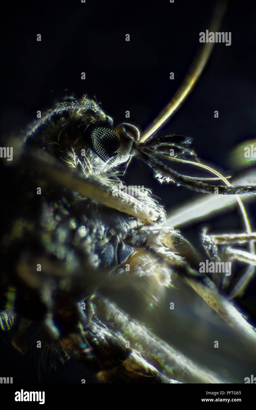 Microscopic image of mosquito, dark field technique, extreme close-up - Stock Image