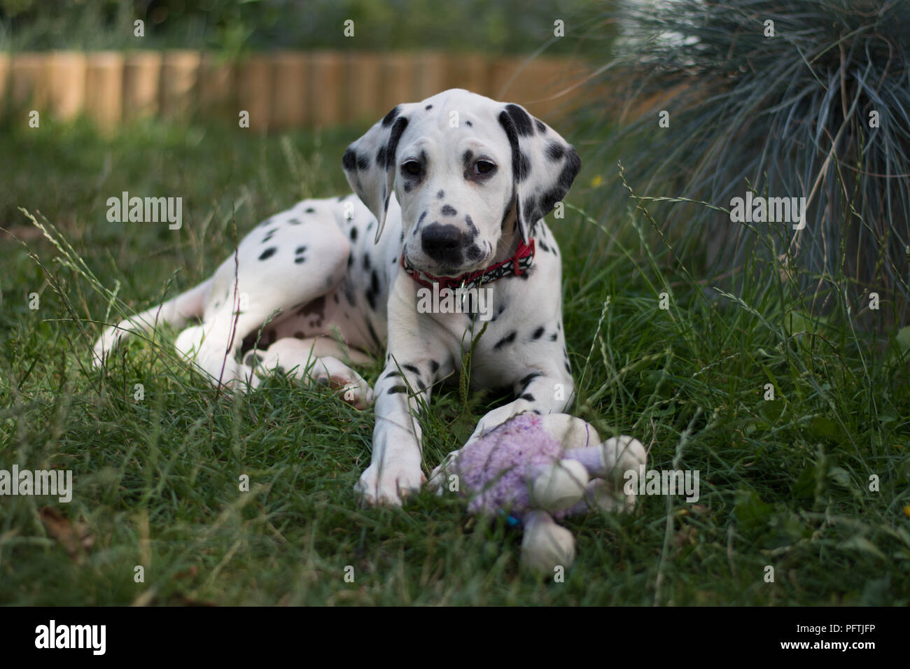 dalmatian puppy lying outside on the grass with puple toy - Stock Image
