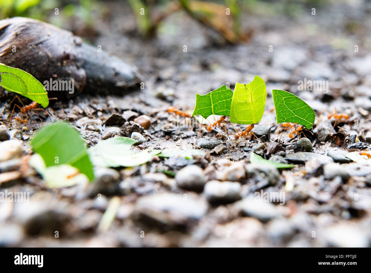 Ants carrying leaves - Stock Image