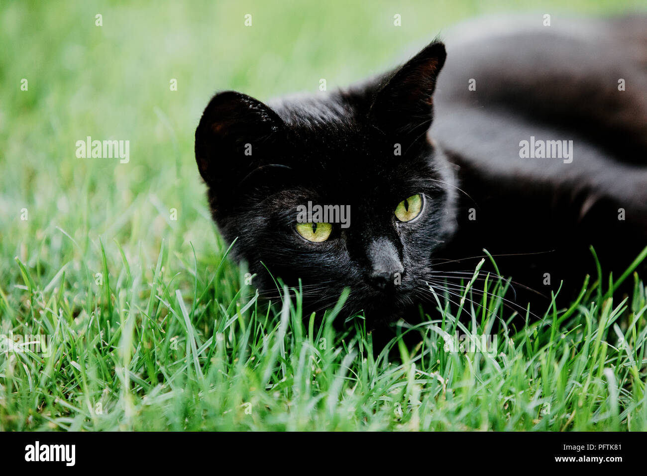Close-up of black cat lying on green grass and watching something. Black cat superstition as bringer of bad luck or good luck. Black cat appreciation  - Stock Image