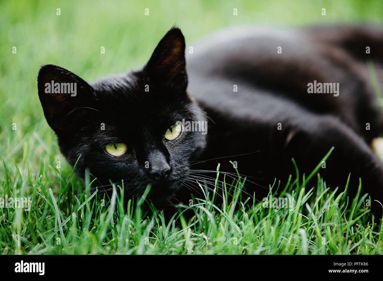 Close-up of black cat lying on green grass and looking into the camera. Black cat superstition as bringer of bad luck or good luck. Black cat apprecia - Stock Image