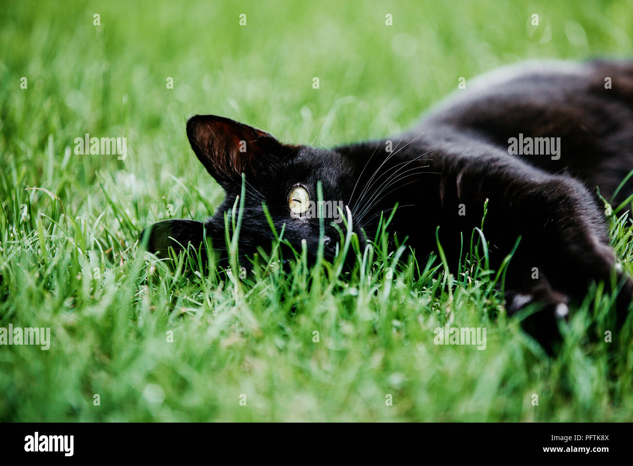 Close-up of black cat resting on green grass outside in the garden. Black cat superstition as bringer of bad luck or good luck. Black cat appreciation - Stock Image