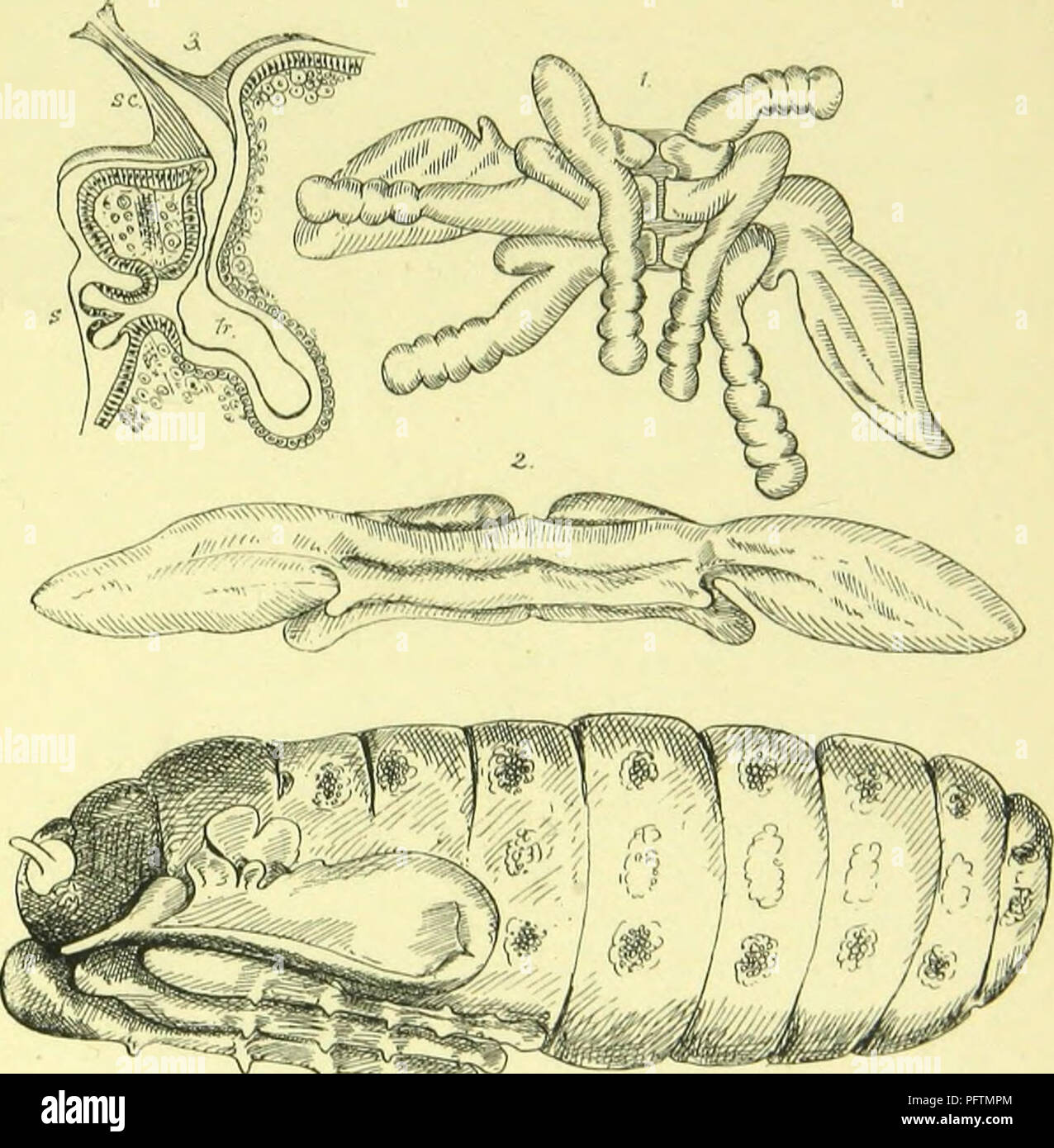 . The anatomy, physiology, morphology and development of the blow-fly (Calliphora erythrocephala.) A study in the comparative anatomy and morphology of insects; with plates and illustrations executed directly from the drawings of the author;. Blowflies. PLATE XX-. Please note that these images are extracted from scanned page images that may have been digitally enhanced for readability - coloration and appearance of these illustrations may not perfectly resemble the original work.. Lowne, Benjamin Thompson, 1839-. London, Pub. for the author by R. H. Porter - Stock Image