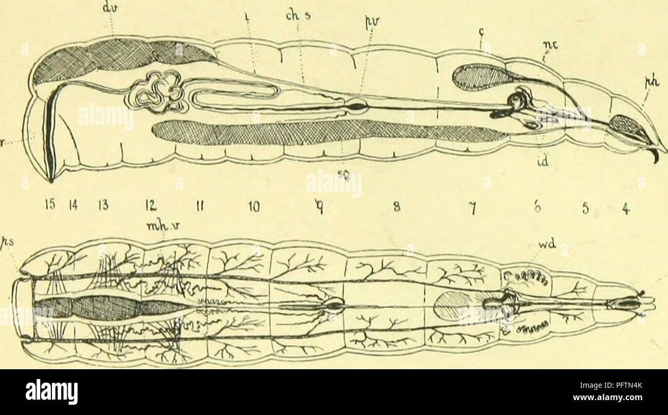 . The anatomy, physiology, morphology and development of the blow-fly (Calliphora erythrocephala.) A study in the comparative anatomy and morphology of insects; with plates and illustrations executed directly from the drawings of the author;. Blowflies. 46 THE LARVA OF THE BLOW-FLY. The dilator muscles of the gullet are inserted into the middle of the lower wall of the pharyngeal sinus, the epipharynx, and by their contraction dilate the alimentary tube, so that the food is sucked into it. When they relax it is depressed on the h3popharynx by its elasticity, like the plunger of a pump; by this - Stock Image
