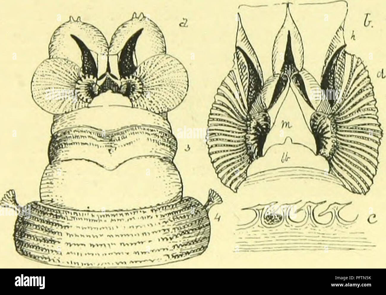 Conical Papillae Stock Photos & Conical Papillae Stock Images - Alamy