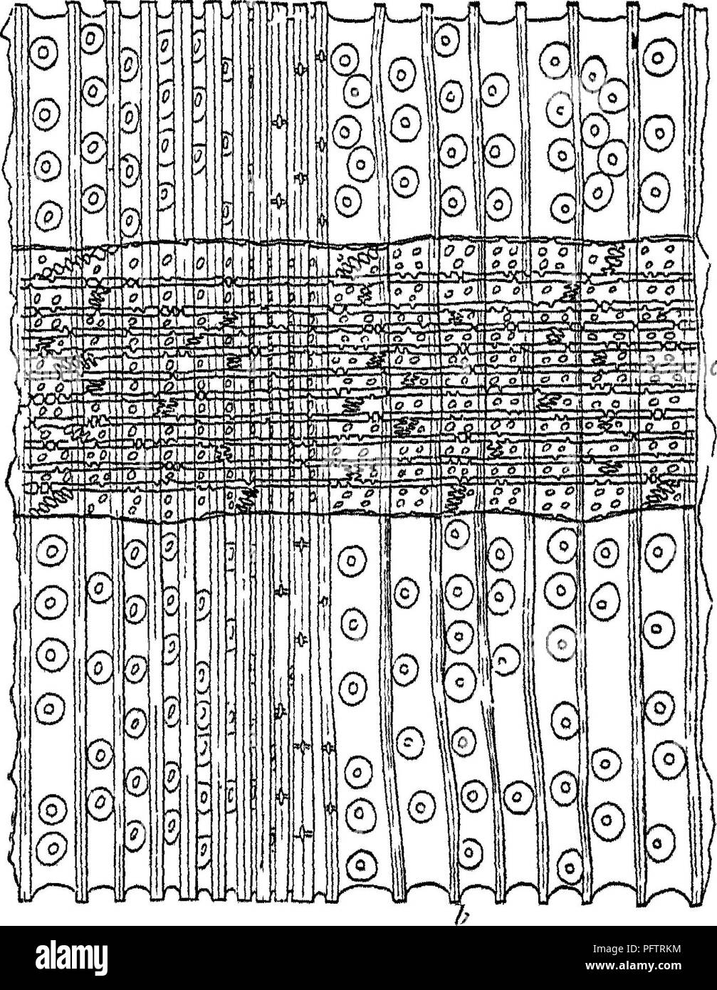 . Wood; a manual of the natural history and industrial applications of the timbers of commerce. Wood; Timber. 20 OF WOOD IN GENERAL running longitudinally. The whole mass of xylem is traversed radially by pith-rays, most of which appear in the transverse sec- Pig. 14.—Resin-duct in coniferous wood, in transverse section, highly magnified, showing the epithelial cells surrounding the duct. tionjof the stem as only one cell in width and made up of cells elongated radially. In a longitudinal and radial section (Pig. 15). Pig, IS.—Badial section of Silver JFir {Jhies pectindta), showing a medullar - Stock Image