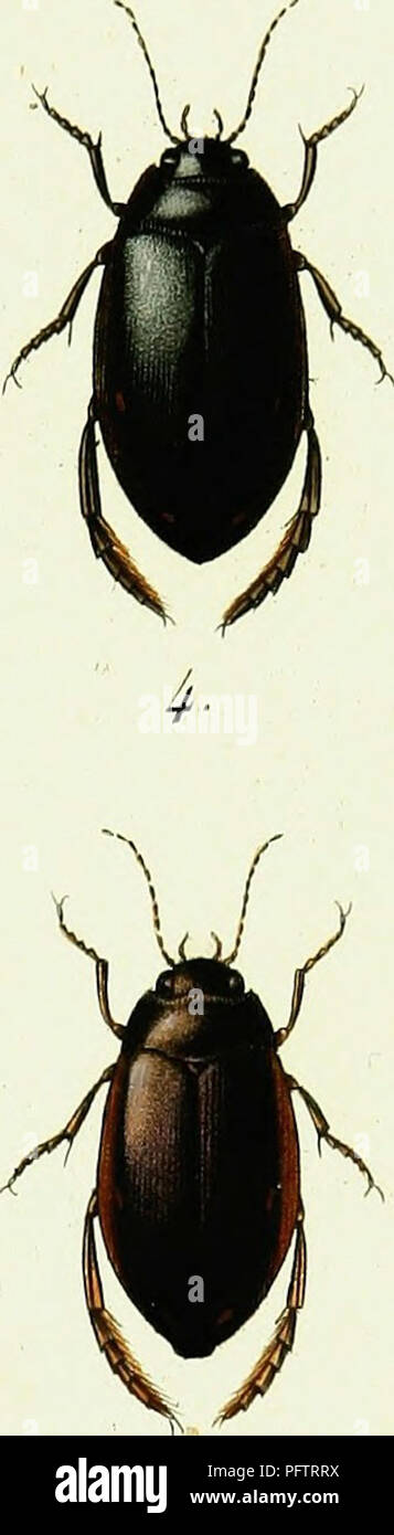 . Iconographie et histoire naturelle des cole?opte?res d'Europe;. Beetles; Entomology. i. Colvin bêles AAspersus '2. Colymbetes Avilis. 3. Colvmbeles Grapii. 4- Ilvbius Aier . 5. Ilvbius Quairiç-uttatus 6. Ilvbius Fcnestratus .. Please note that these images are extracted from scanned page images that may have been digitally enhanced for readability - coloration and appearance of these illustrations may not perfectly resemble the original work.. Dejean, Pierre Franc?ois Marie Auguste, comte, 1780-1845. Paris, Me?quignon-Marvis - Stock Image
