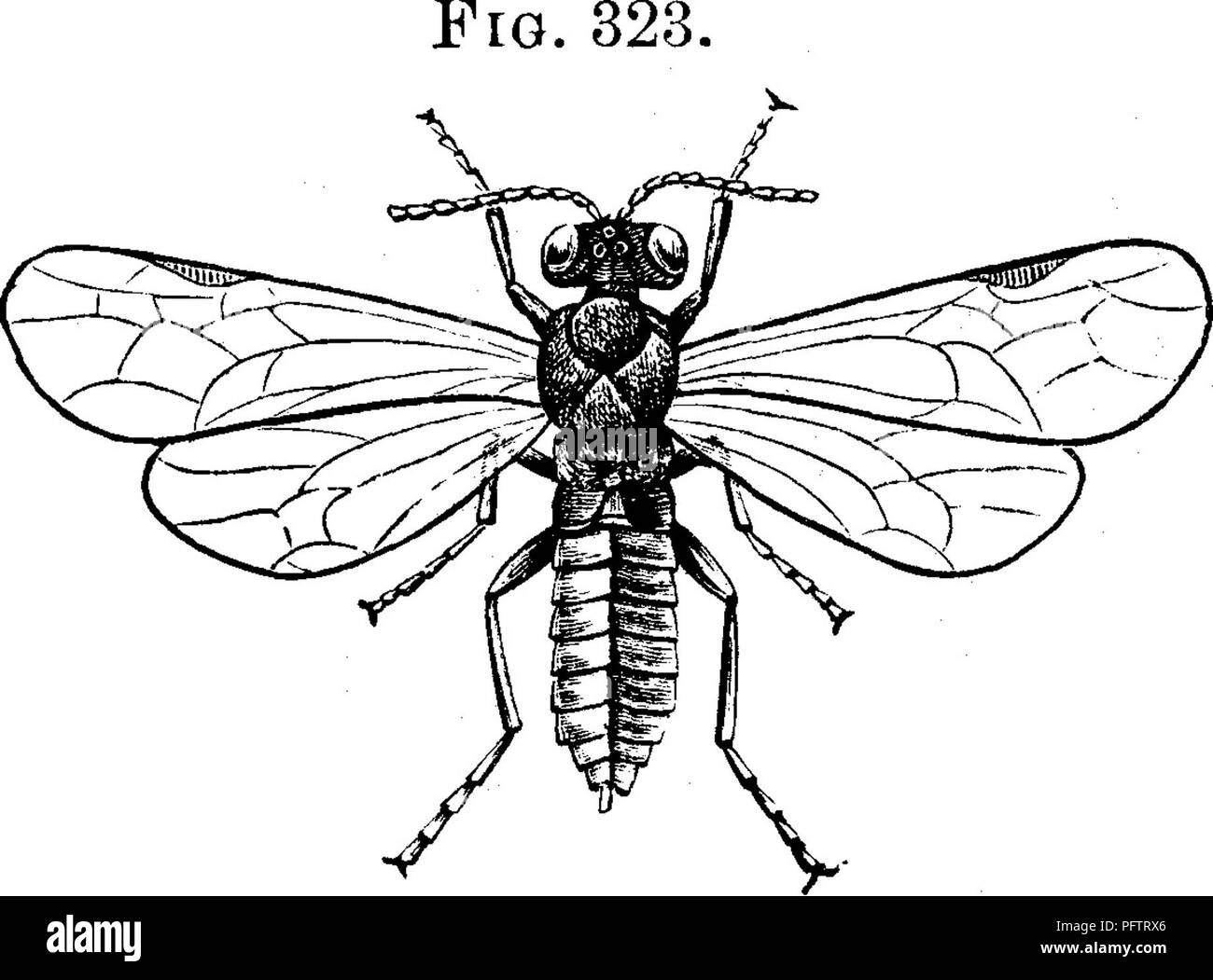 . Insects injurious to fruits. Illustrated with four hundred and forty wood-cuts. Insect pests. ATTACKING THE LEAVES. 311 not open. The beetles attack the expanded flowers as well as those which are unopened, partly hiding themselves about the base of the numerous stamens on which they are feeding. They are seldom seen during the middle of the day, but work chiefly during the early hours of the morning and evening. They feed on the blossoms of the blackberry also, and are said to eat the leaves of the raspberry occasionally. Where the flowers are injured, the fruit, if it forms at all, is alwa - Stock Image
