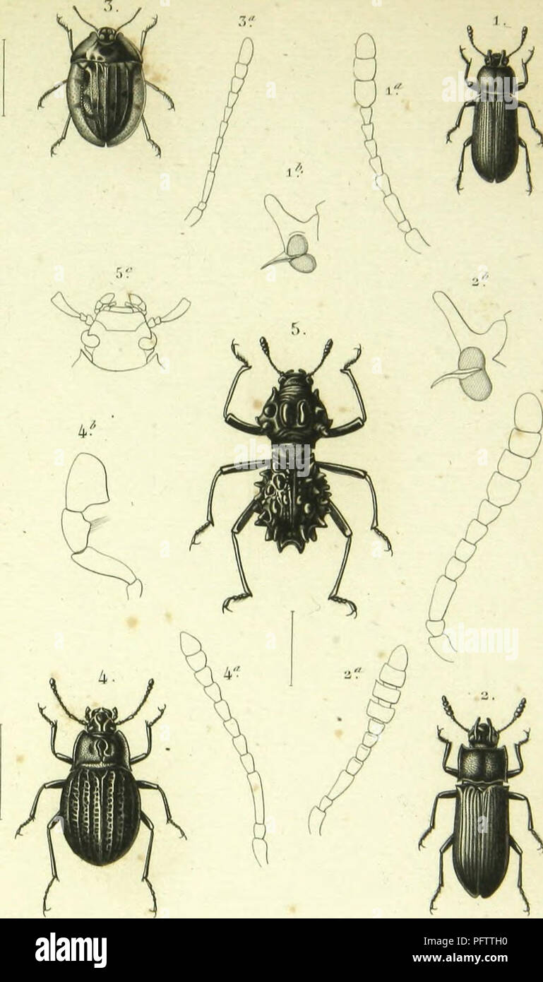 ". Histoire naturelle des insectes : genera des coleopteres, ou expose methodique et critique de tous les genres proposes jusqu'ici dans cet ordre d'insects. Beetles. I. Aiillii-acias li. Tox,,-inu i.u,,-, F.Mh-l, ,T. ElH-e|)llalus s""i""mi,uIn