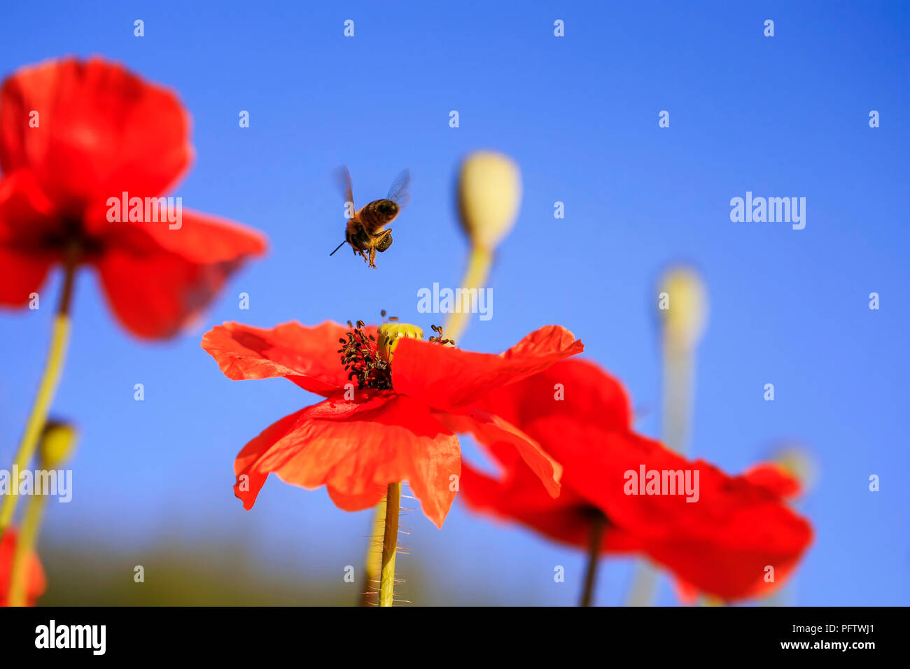 Summer Landscape With Little Bee Flying And Collecting Nectar With