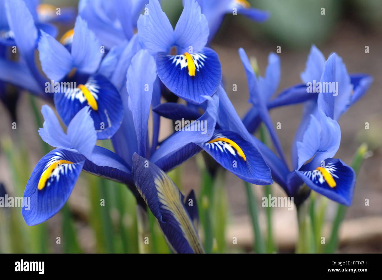 A Close Up Of Blue Iris Flowers At The Botanical Gardens In