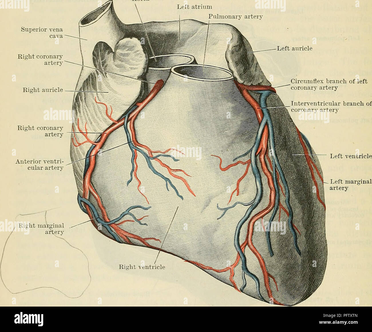 Left Atrium Stock Photos Left Atrium Stock Images Alamy