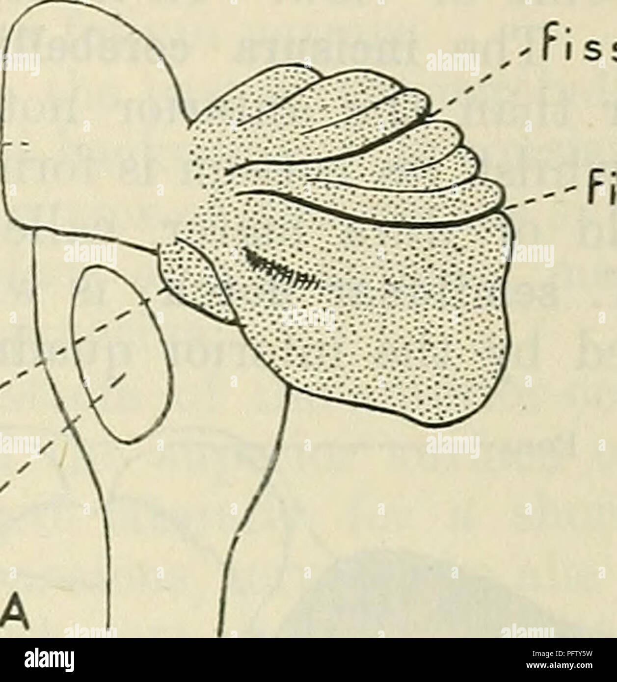. Cunningham's Text-book of anatomy. Anatomy. THE CEEEBELLUM. 573 Pons. i ss. prima ss. postlunarfs jf floor of fissura horizon talis There is no justification for such a subdivision, nor is any useful purpose served by linking together two parts so distinct, morphologically and physiologically, as the culmen and declive and calling the complex monticulus. Only some of the fissures of the vermis become prolonged laterally beyond the limits of the vermis, but as the boss-like lateral lobes begin to expand their surface becomes folded and a series of independent lateral fissures are formed. [The - Stock Image