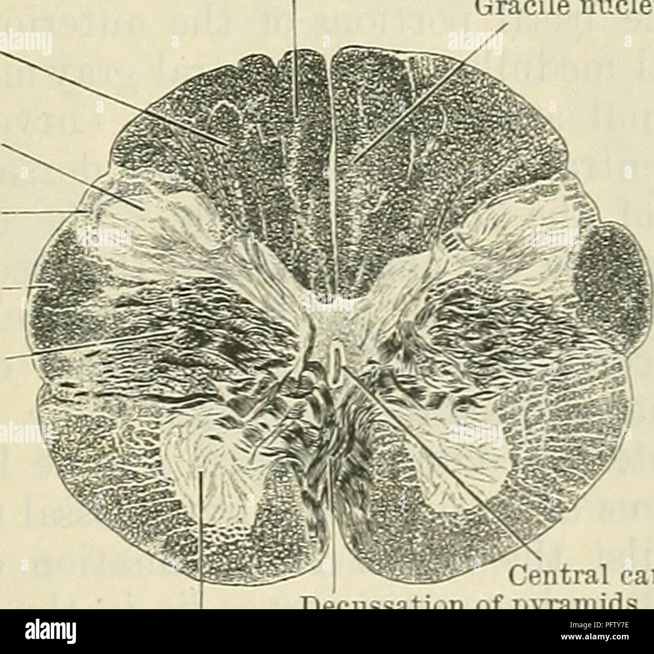 Spinalis Stock Photos Images Alamy Diagramoftheeye23 Diagram Picture Cunninghams Text Book Of Anatomy Fig 496diagram