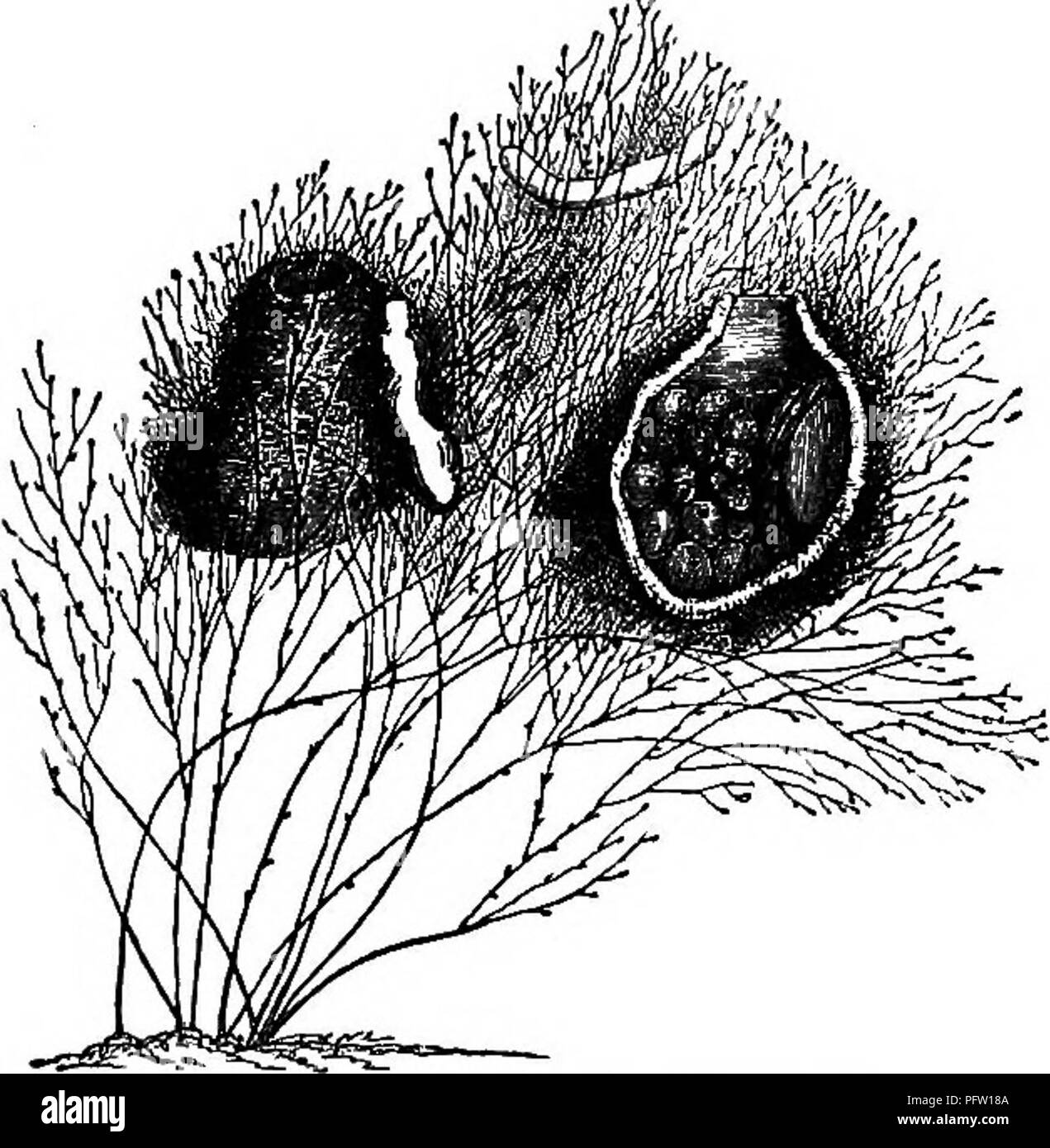 . Life of a Scotch naturalist: Thomas Edward, associate of the Linnaean Society. CHAP. xv.J Nest-lndlMng Crustacea. 275 could the Podocerus capillatus do for his family? Noth- ing whatever! His entire labors were gratuitous. Prop- erly speaking, naturalists should be gentlemen of independ- ent fortune. At all events, they should have some profes- sion to live by; while Edward had nothing but Ms wretch- edly paid trade of shoe-making. The wonder is, that, with all his illnesses, arising for the most part from the results of exposure, he should have done so much, and continued his self-sacrifici - Stock Image