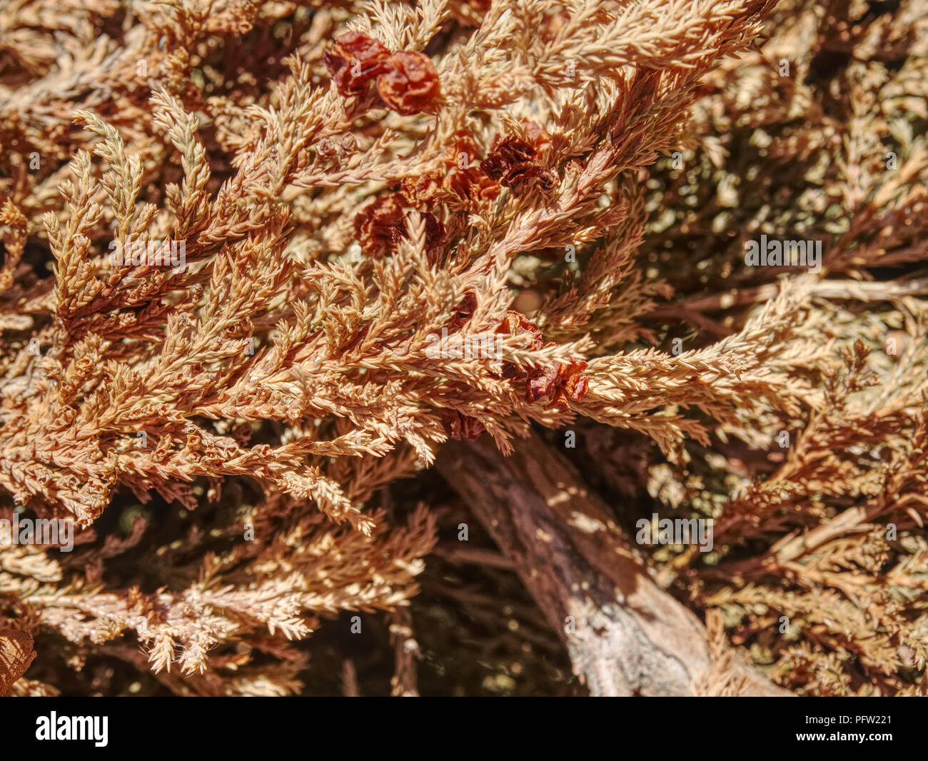 Dry dead thuja. Tree in park dryied consequence of extreme hot summer without any rain. - Stock Image