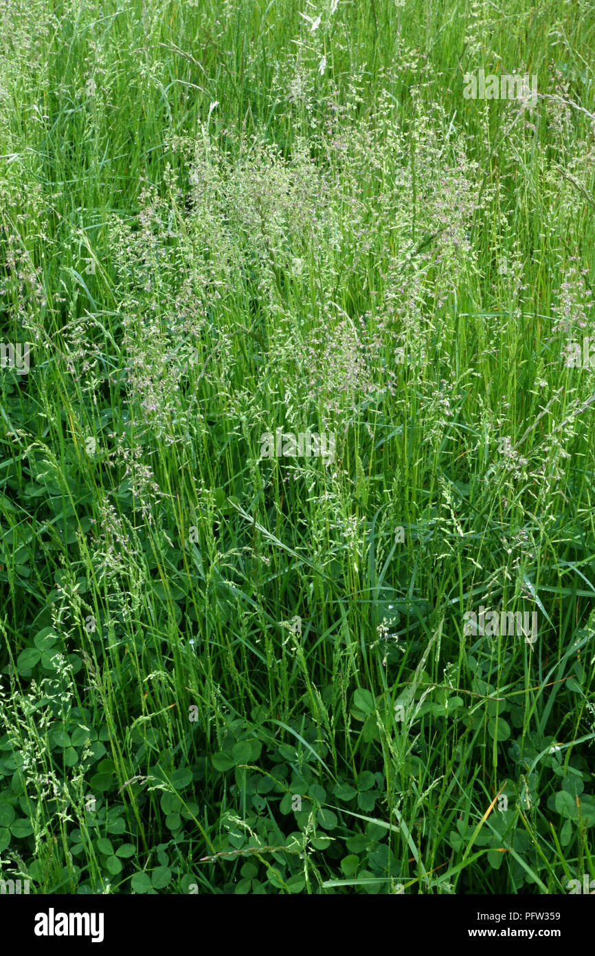 Smooth meadow-grass, Poa pratensis, flowering in a pasture, Berkshire, England, UK, May - Stock Image