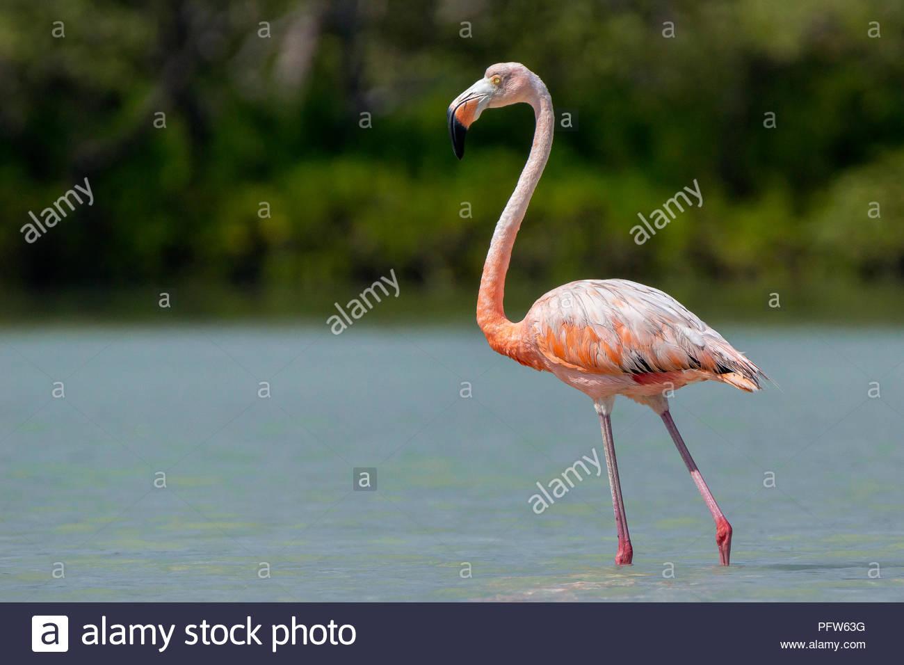 American pink flamingo - Phoenicopterus ruber Stock Photo