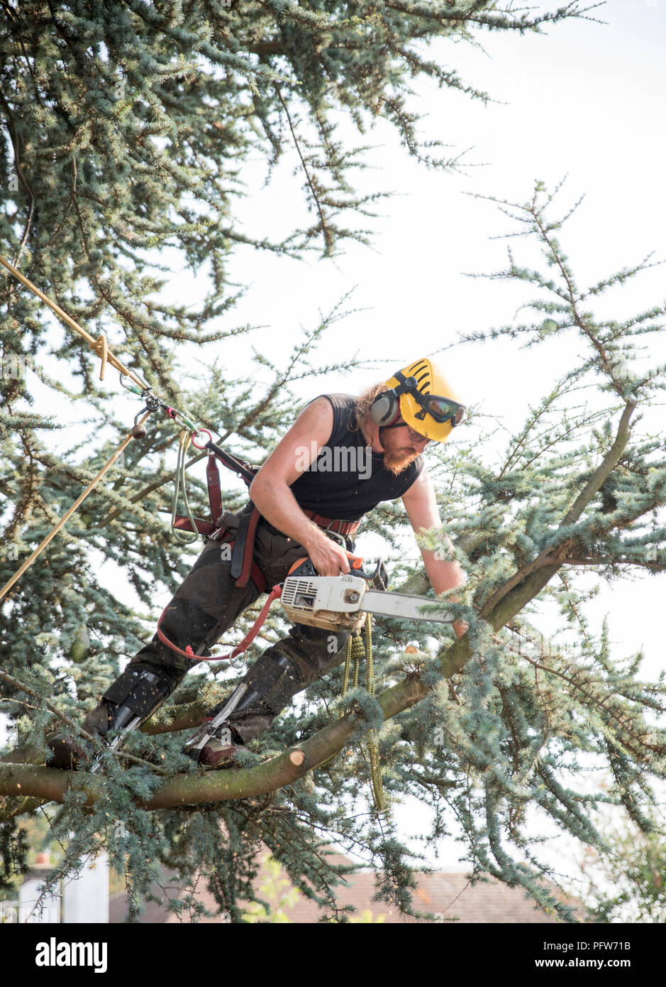 Male Tree Surgeon using a chainsaw with a safety rope - Stock Image