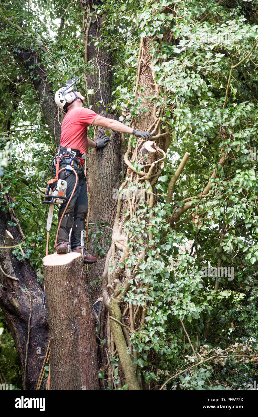 Male Tree Surgeon with a chainsaw assessing a tree for felling - Stock Image