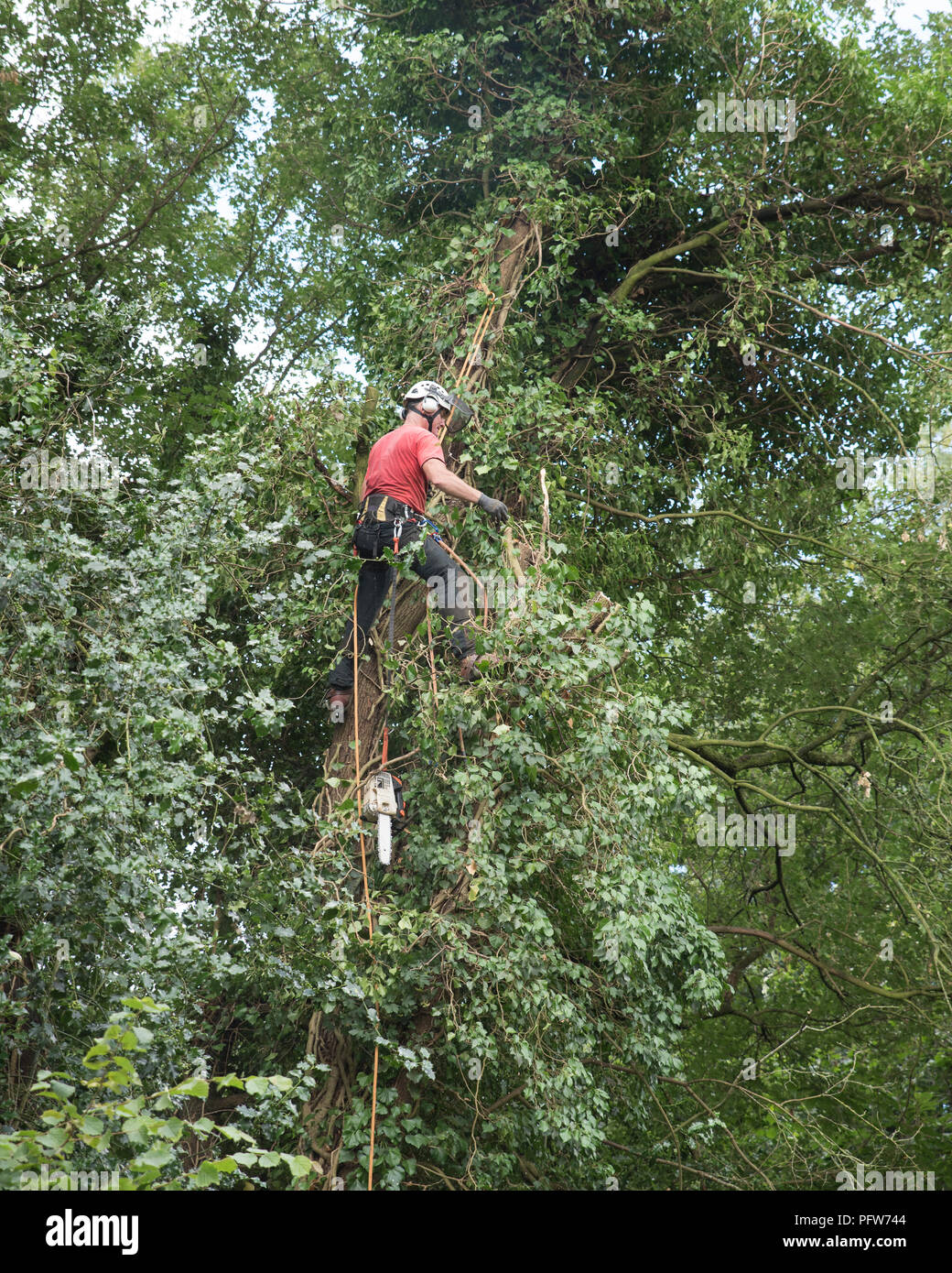 Male Tree Surgeon standing on a branch up a tall tree. Stock Photo
