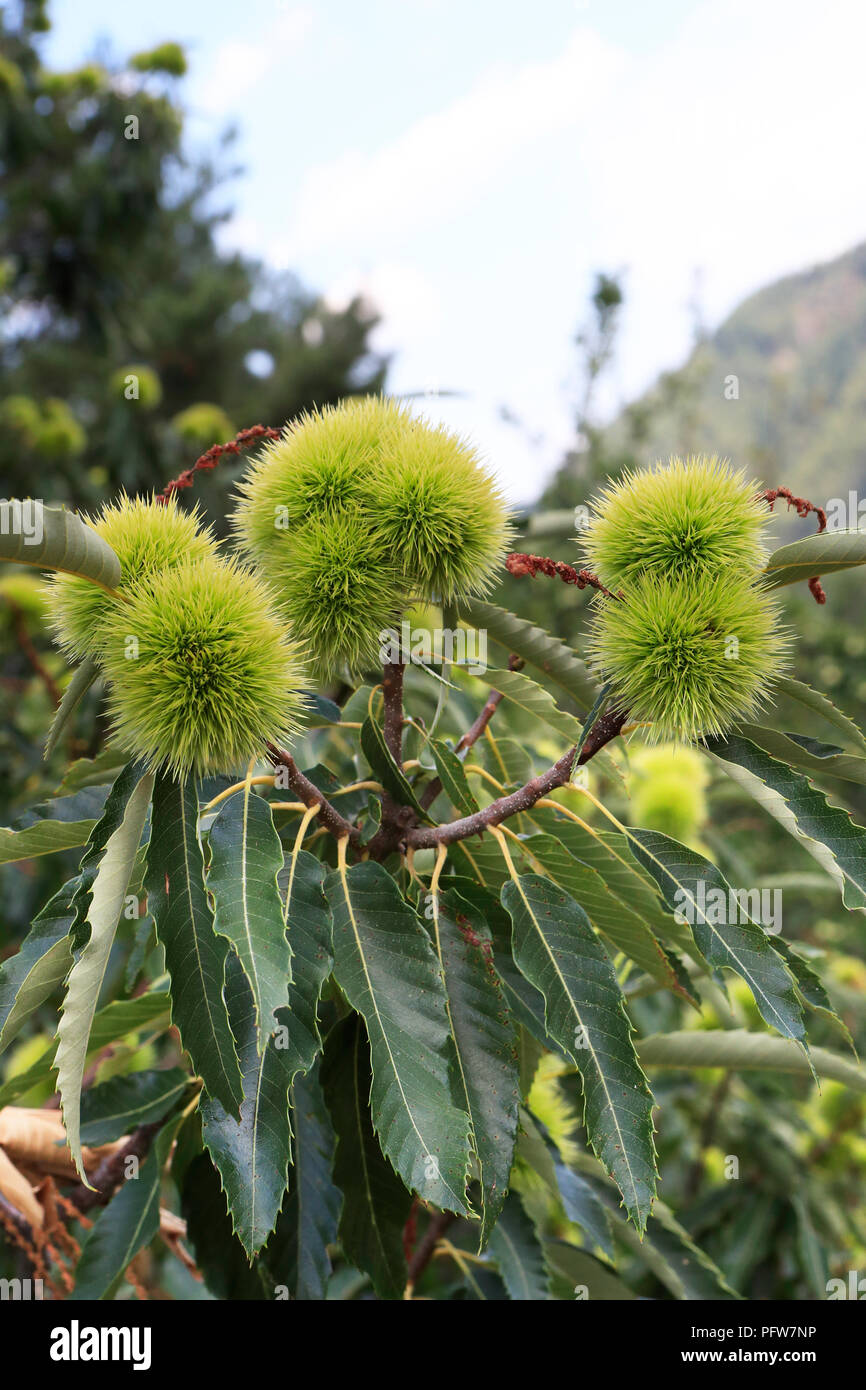Sweet chestnut tree with nutshells and leaves fagaceae castanea sativa - Stock Image