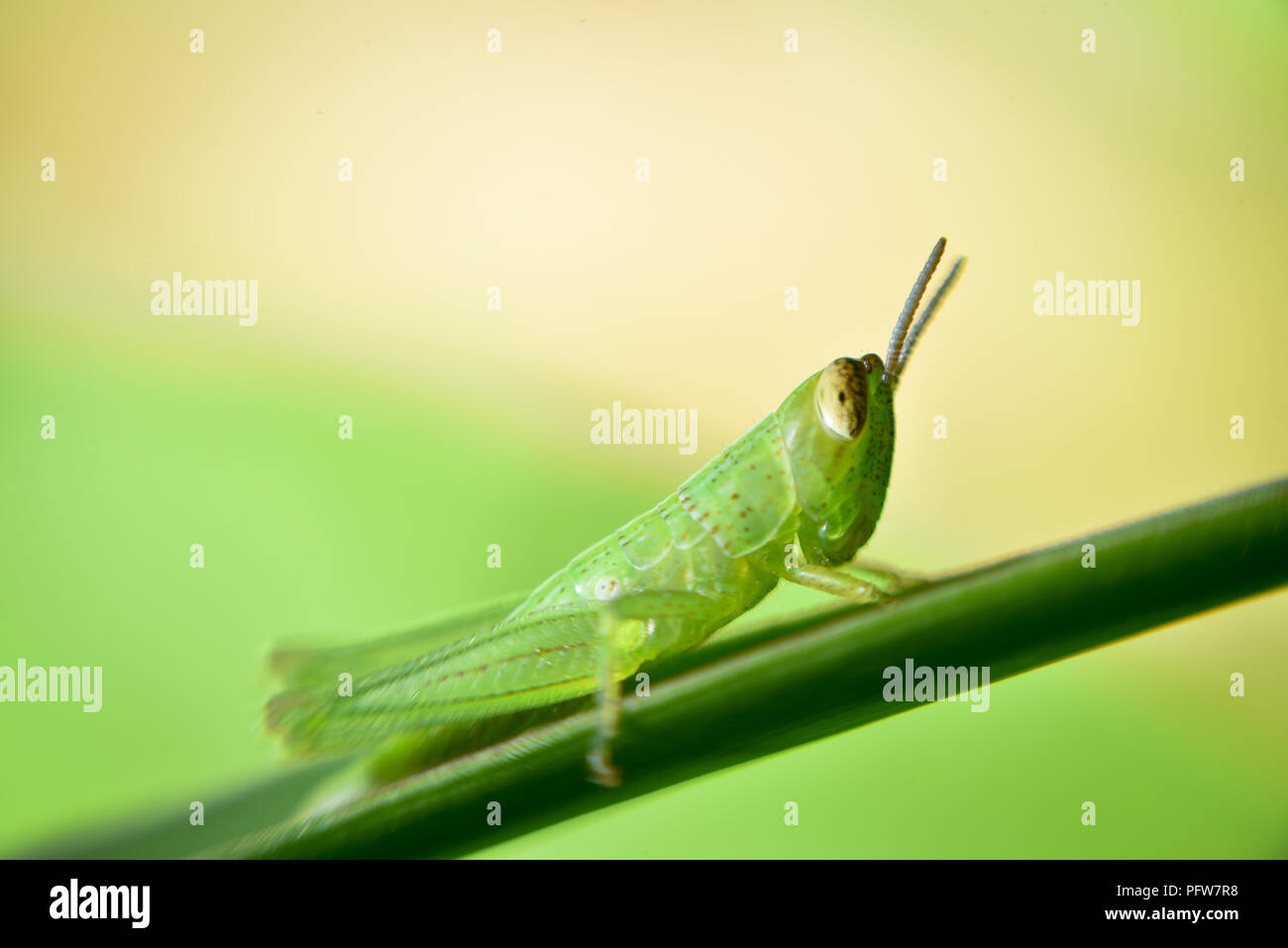 green grasshopper on grass cane on green blurry background, macro photography close up grasshopper - Stock Image