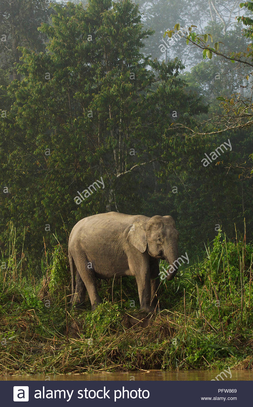 Borneo elephant (Elephas maximus borneensis) also known as Borneo pygmy elephant, critically endangered species, rainforest, Sabah,  Borneo, Malaysia - Stock Image