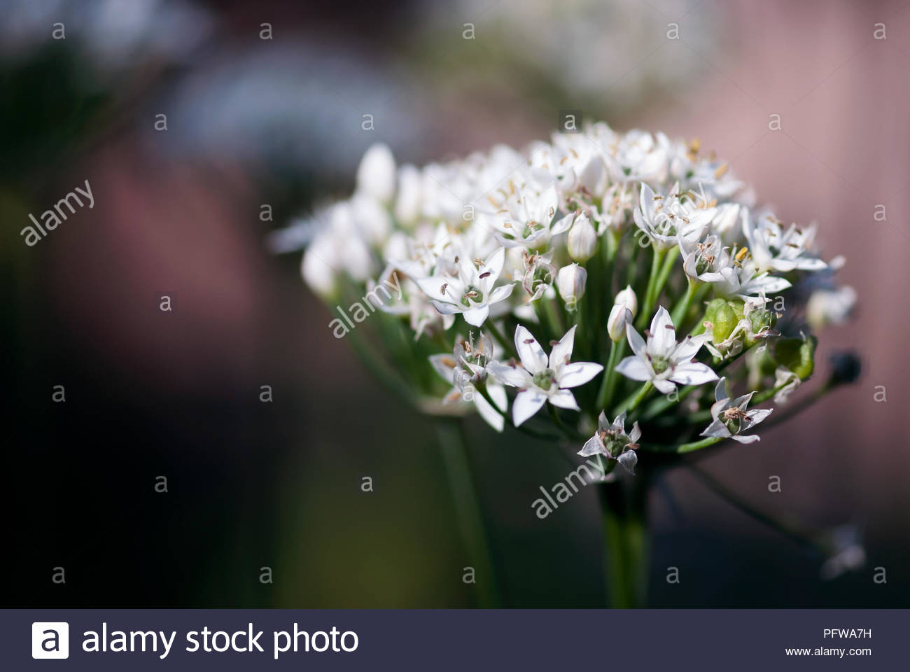 Delicate White Allium Flowers Bloom In A Summer Garden Stock Photo