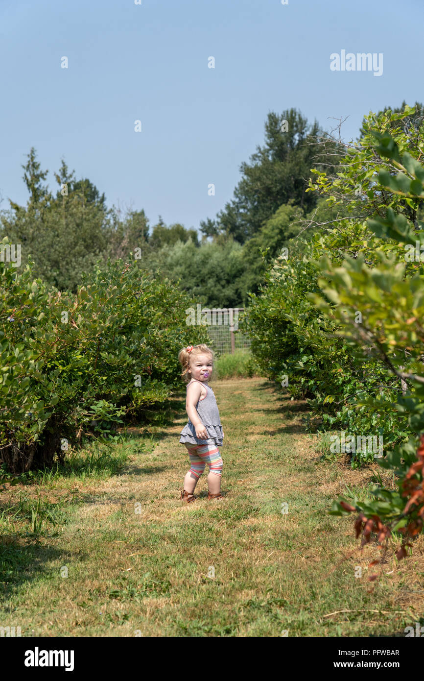 Twenty month old girl turning around when she has been called to come back, in a u-pick blueberry farm - Stock Image
