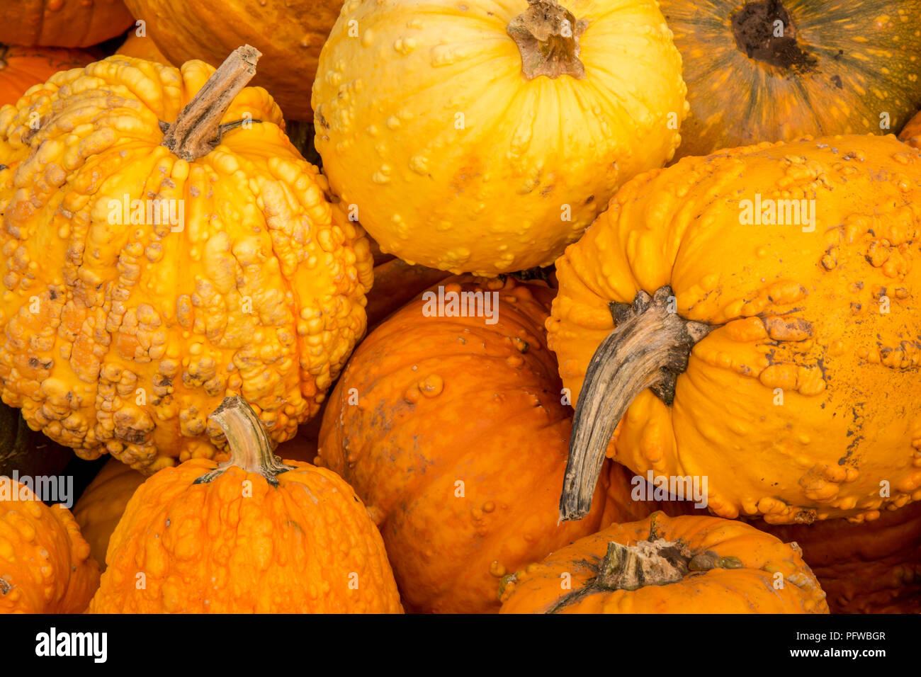 Hood River, Oregon, USA.  Orange warty pumpkins. Stock Photo
