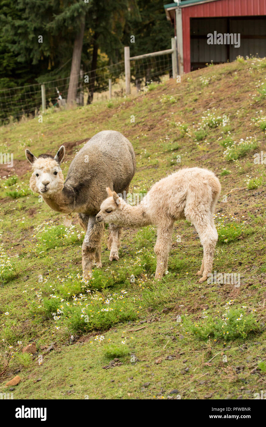 Hood River, Oregon, USA.  Mother and baby (cria) alpaca grazing in pasture in light rain. - Stock Image