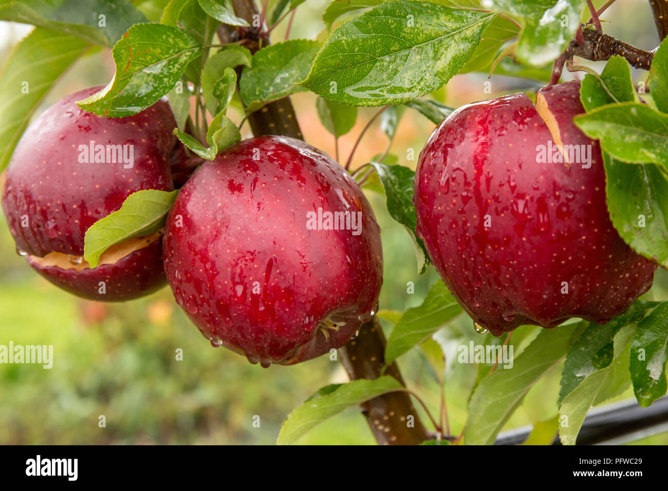 Gale Gala Apple High Resolution Stock Photography And Images Alamy
