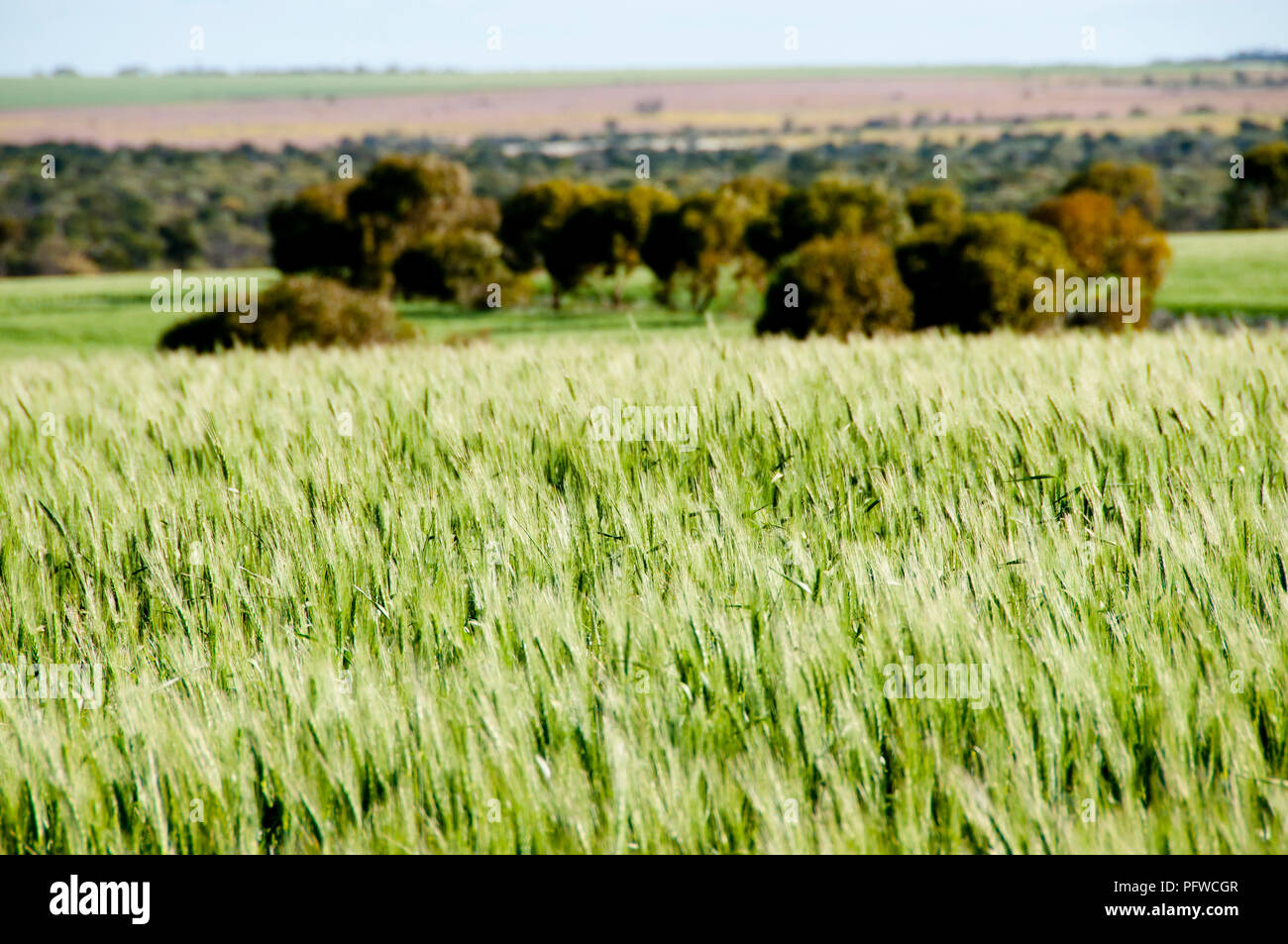 Wheat Field in Spring - Mid West - Western Australia Stock Photo