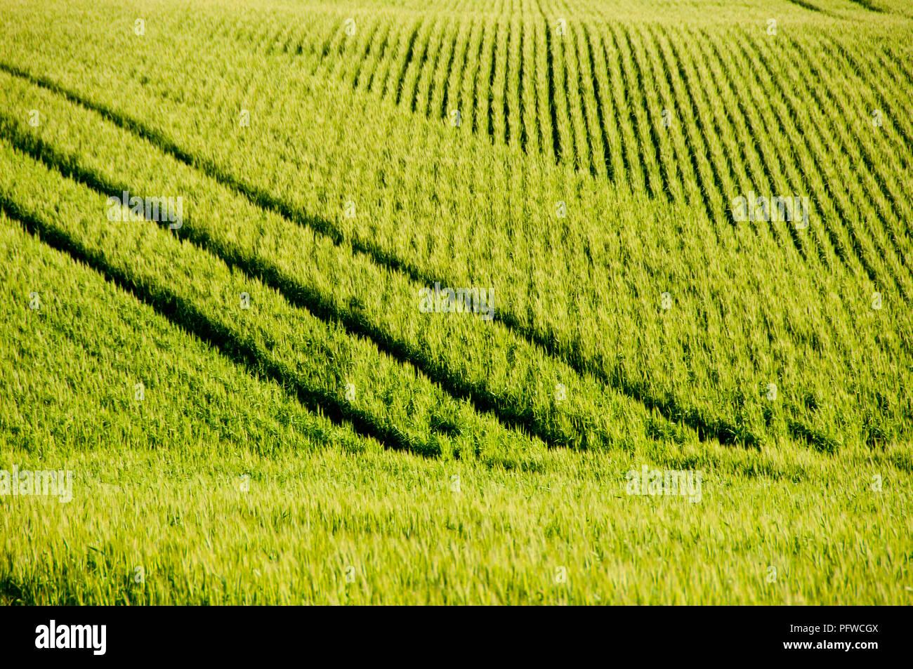 Wheat Field in Spring - Mid West - Western Australia - Stock Image