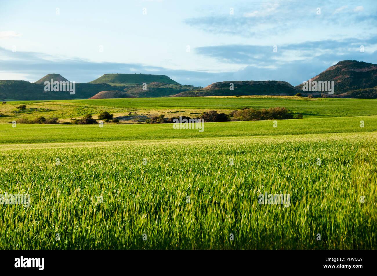 Wheat Field in Spring - Mid West - Western Australia Stock Photo